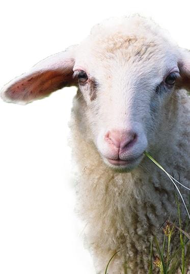 Sheep min
